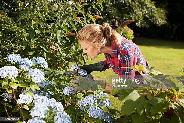 woman pruning flowers in garden - hydrangea stock pictures, royalty-free photos & images