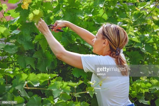 Frau beschneiden Trauben Reben im Hinterhof