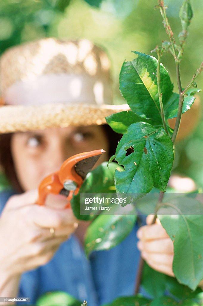 Woman pruning plant : Stockfoto