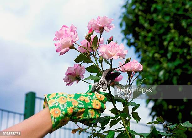 woman pruning roses - pruning shears stock photos and pictures