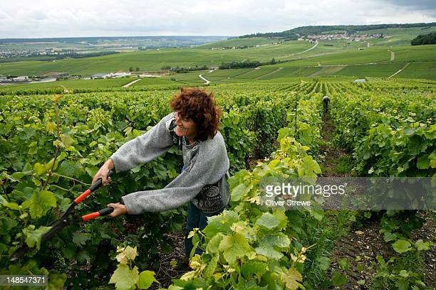 Woman pruning vines in Champage producing vineyard near Epernay.