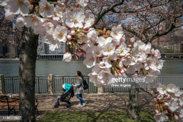 A woman pushes a stroller along the East River as cherry trees begin to bloom on Roosevelt Island April 10 2019 in New York City Much of the East...