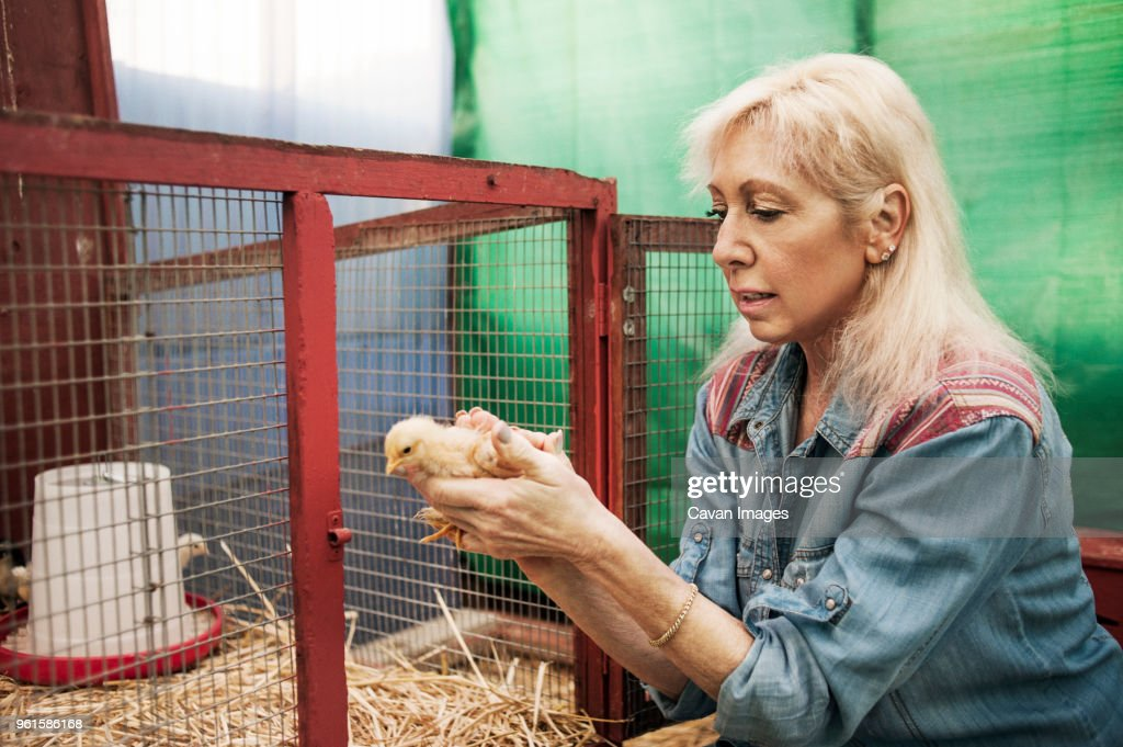 Woman putting chicken in chicken coop : Stock Photo