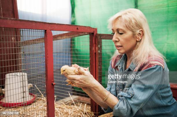 woman putting chicken in chicken coop - day old chicks stock photos and pictures