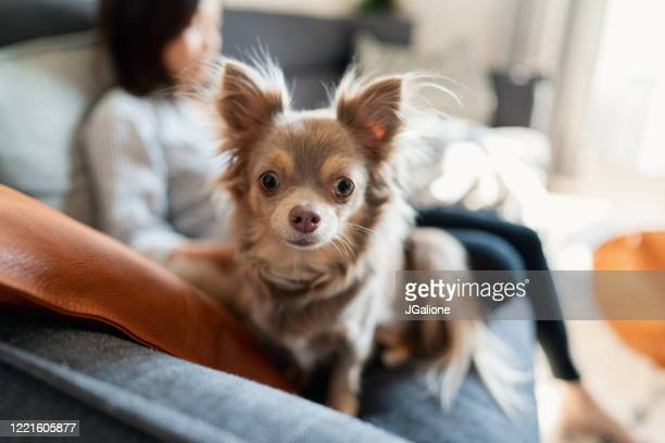 woman relaxing at home with her dog - chihuahua dog stock pictures, royalty-free photos & images