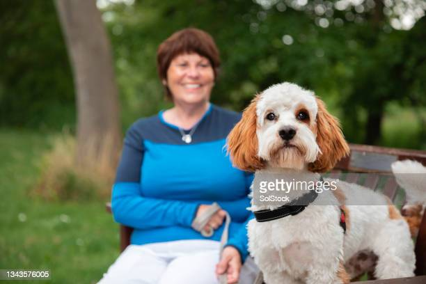 woman relaxing with her cavapoo on a walk - morpeth stock pictures, royalty-free photos & images
