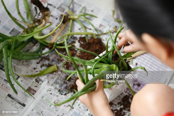 Woman replanting aloe vera plants
