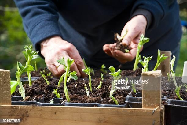 Woman repotting broad bean seedlings