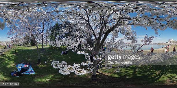 A woman rests in the shade of one of the cherry trees that surround the Tidal Basin near the National Mall March 23 2016 in Washington DC The...
