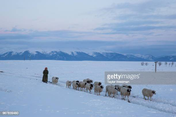A woman returns after herding sheep and goats in a dzud affected area in Darkhad Valley Khovsgol Province Mongolia A dzud is a severe winter after a...
