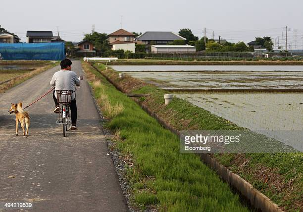 A woman rides on a bicycle alongside a dog near rice paddy fields in Saitama Japan on Sunday May 25 2014 Rice consumption in Japan peaked at 134...
