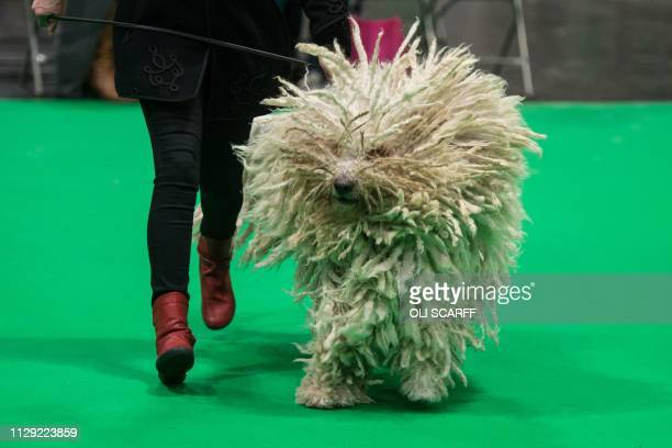 A woman runs with her Komondor dog as its judged in a show ring on the second day of the Crufts dog show at the National Exhibition Centre in...