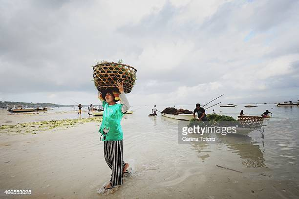 CONTENT] A woman seaweed farmer carries a heavy basket of freshly harvested seaweed on her head on a sandy beach While a man loads more seaweed from...