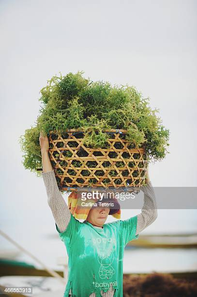 CONTENT] A woman seaweed farmer lifts a heavy basket of freshly harvested seaweed onto her head Seaweed farming is the traditional main industry of...