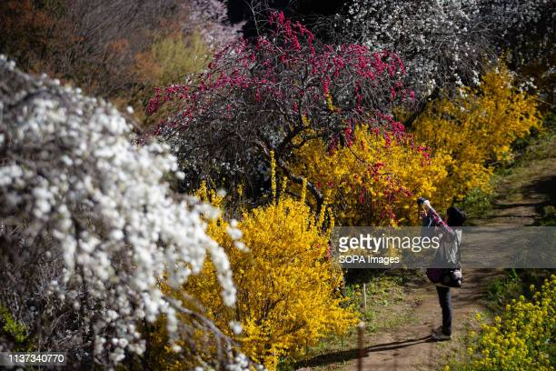 A woman seen enjoying the view of the weeping peach trees Approximately 3000 weeping peaches flourish in the Asahi District's Kaminakacho Toyota...