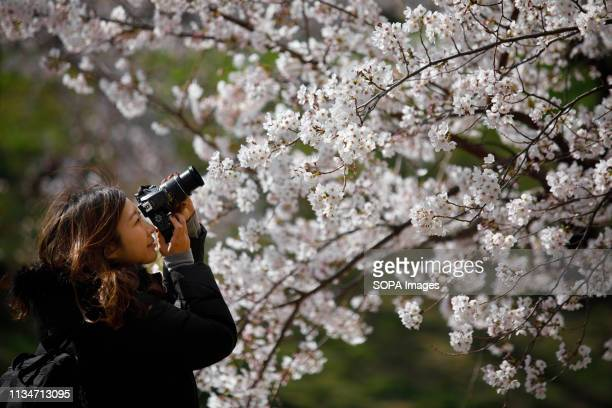 A woman seen taking a picture of the cherry blossom tree during the festival Spring arrives and 800 Sakura cherry trees spread in the area around...