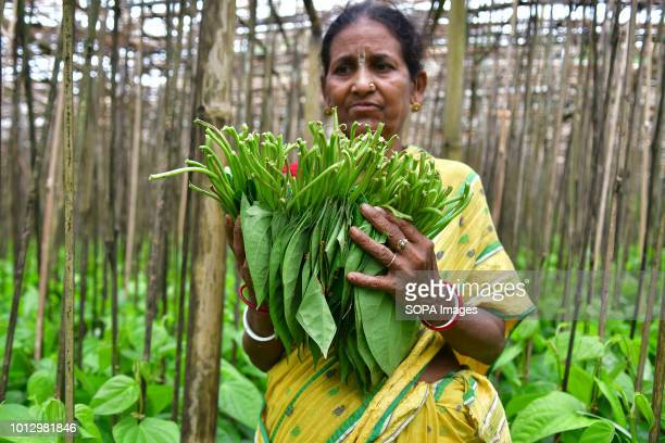 A woman seen working in a Paan field locally known as Paan in Agartala Varieties of paan are produced here like Bangla Paan Lanka Paan and Golta Paan...