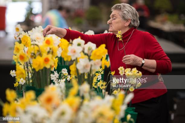 A woman selects and arranges daffodils on the eve of the opening day of the Harrogate Spring Flower Show at the Great Yorkshire Showground in...
