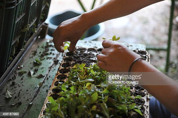 A woman selects plants in a plantation of stevia on October 18 2014 in Guayaibi 175 km north of Asuncion Following the approval by the US and...