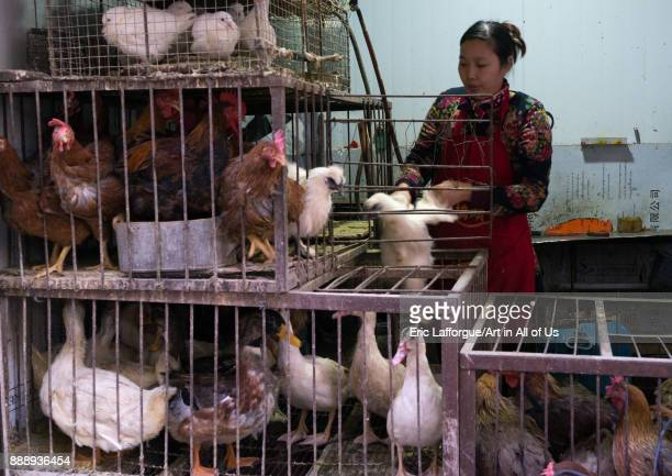 Woman selling live chickens and ducks in cages at a food market, Gansu province, Lanzhou, China on November 2, 2017 in Lanzhou, China.