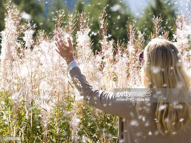 Woman shakes cotton fluff, mature fireweed plants