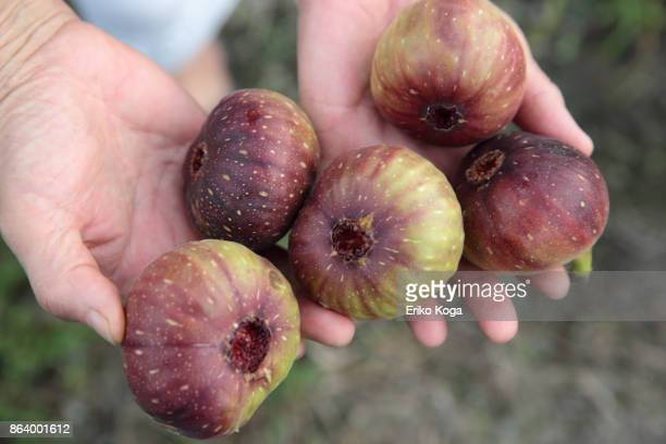 Woman showing harvested figs