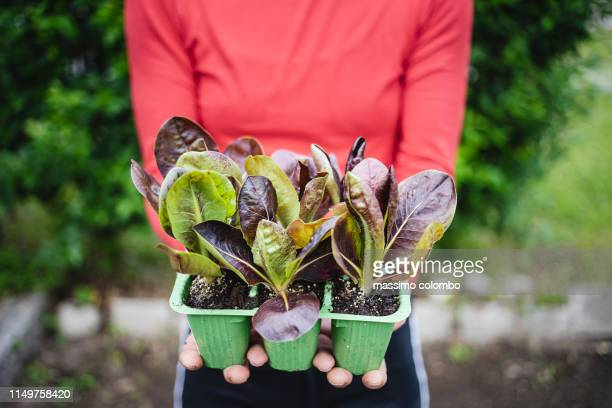 woman shows organic salad seedlings - cultivated stock pictures, royalty-free photos & images