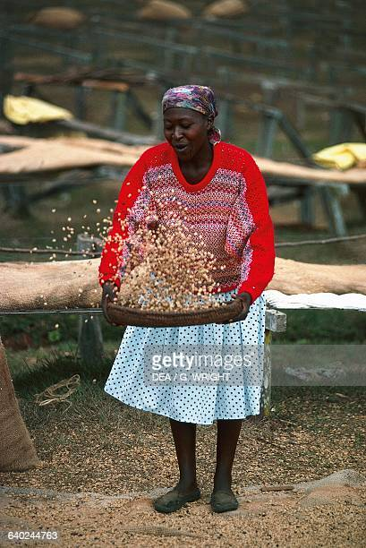 A woman sifting coffee from dried drupe fruit Mogambo near Meru Kenya