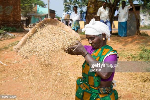 Woman sifting husks from rice Tamil Nadu India