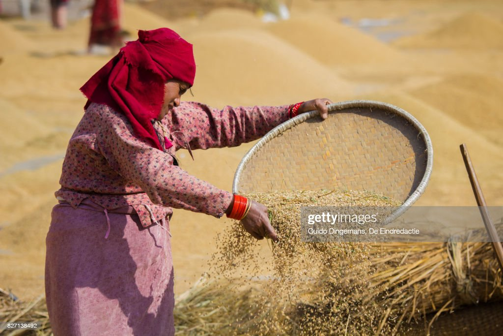 Woman sifting wheat during harvest time in Kathmandu, Nepal : Stock Photo