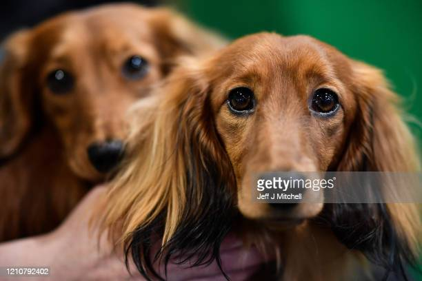 A woman sits with her Longhaired Dachshunds on day 2 of the Cruft's dog show at the NEC Arena on March 6 2020 in Birmingham England The annual...