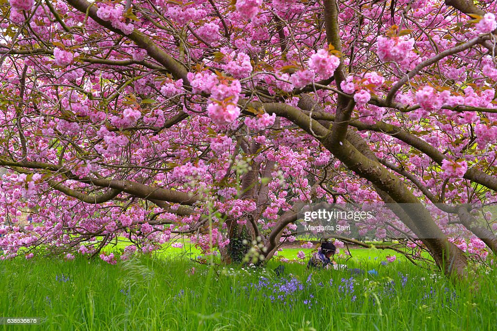Woman sitting under a cherry tree in blossom : Stock Photo