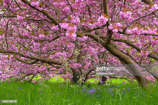 woman sitting under a cherry tree in blossom - richmond upon thames stock pictures, royalty-free photos & images