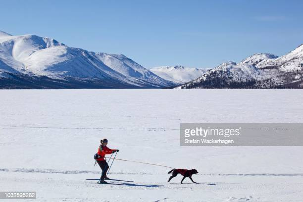 woman skijoring, cross country skiing, with a sled dog, fish lake, yukon territory, canada - vista lateral stock pictures, royalty-free photos & images