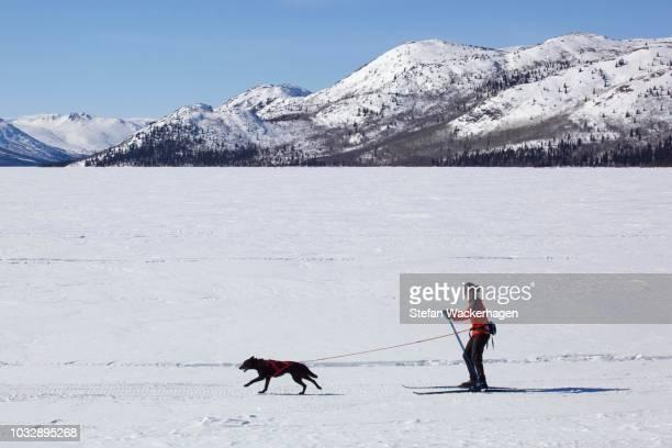 Woman skijoring, cross country skiing, with a sled dog, Fish Lake, Yukon Territory, Canada