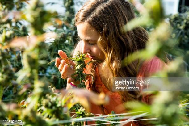 a woman smelling a marijuana plant ready for harvest. - 大麻草 ストックフォトと画像