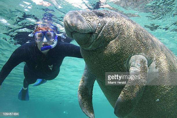 A woman snorkeler swims with a manatee in the Crystal River National Wildlife Refuge in Crystal River Florida