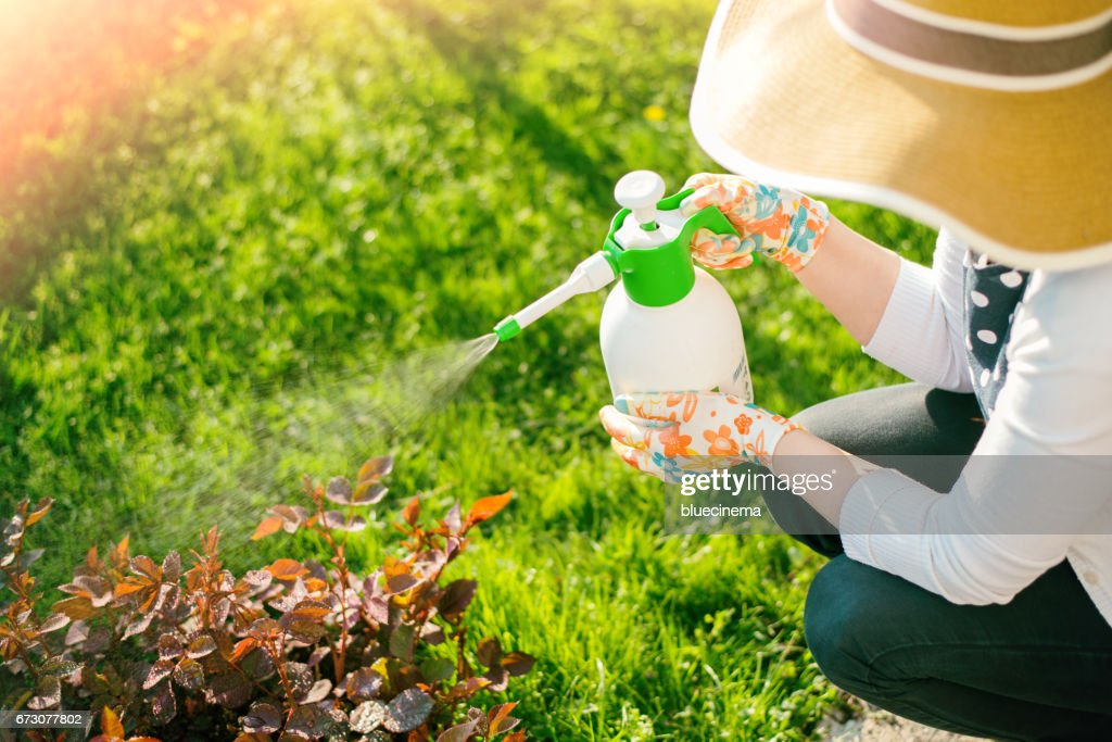Woman spraying flowers in the garden : Stock Photo