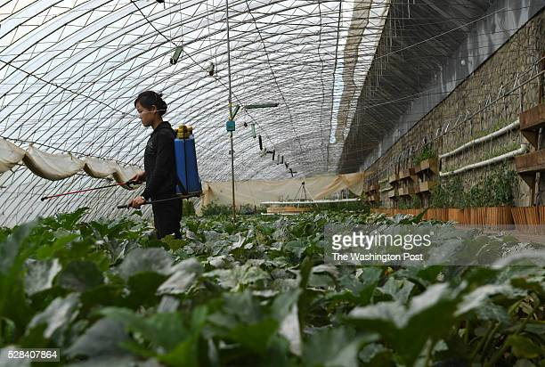 A woman sprays fertilizer on vegetables at a greenhouse during a media tour of Jangchon cooperative farm on the outskirts of Pyongyang North Korea on...