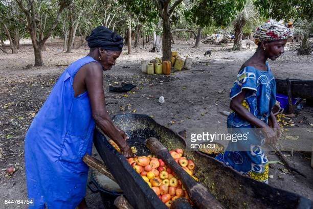A woman squashes cashew apples on May 10 2017 in an orchard near Bissau Producers of cashew nuts in GuineaBissau enjoy the success of a battle to...
