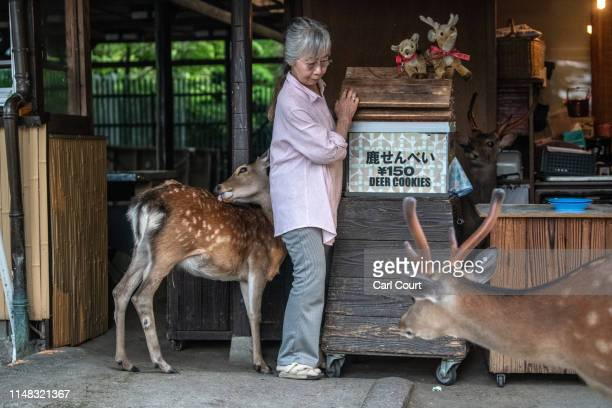 A woman squeezes past a wild sika deer at her deer cookie shop on June 6 2019 in Nara Japan Nara's freeroaming deer have become a huge attraction for...