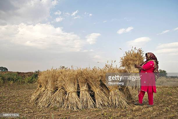 A woman stacks bundles of wheat during a harvest in the Chakwal district of Punjab province Pakistan on Saturday May 4 2013 Pakistan wheat output to...
