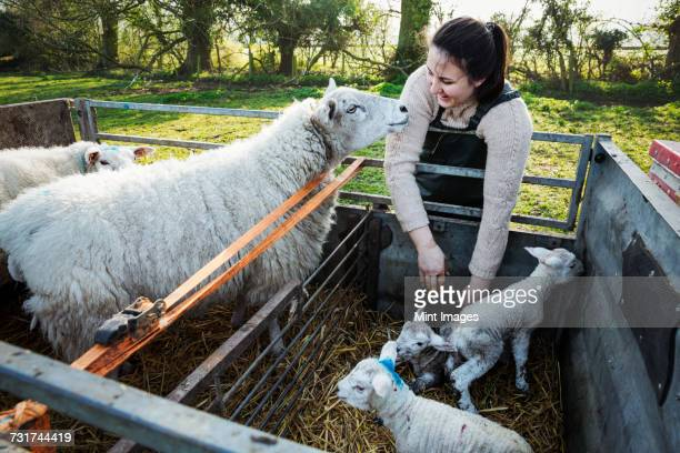 woman standing beside a trailer with two ewes and three newborn lambs. - organic farm stock photos and pictures