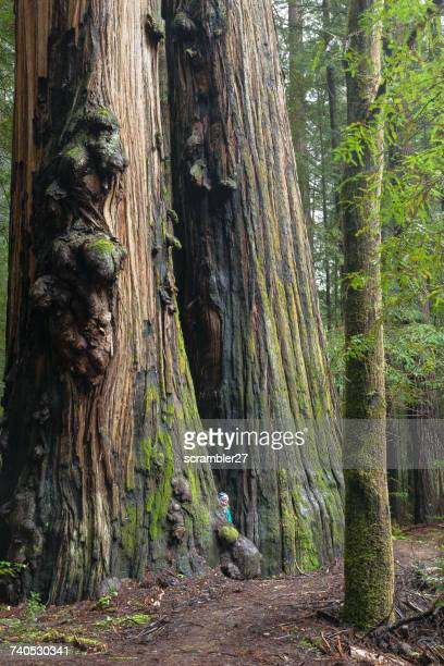 woman standing between two giant redwood trees, redwoods state park, california, america, usa - humboldt redwoods state park stock photos and pictures