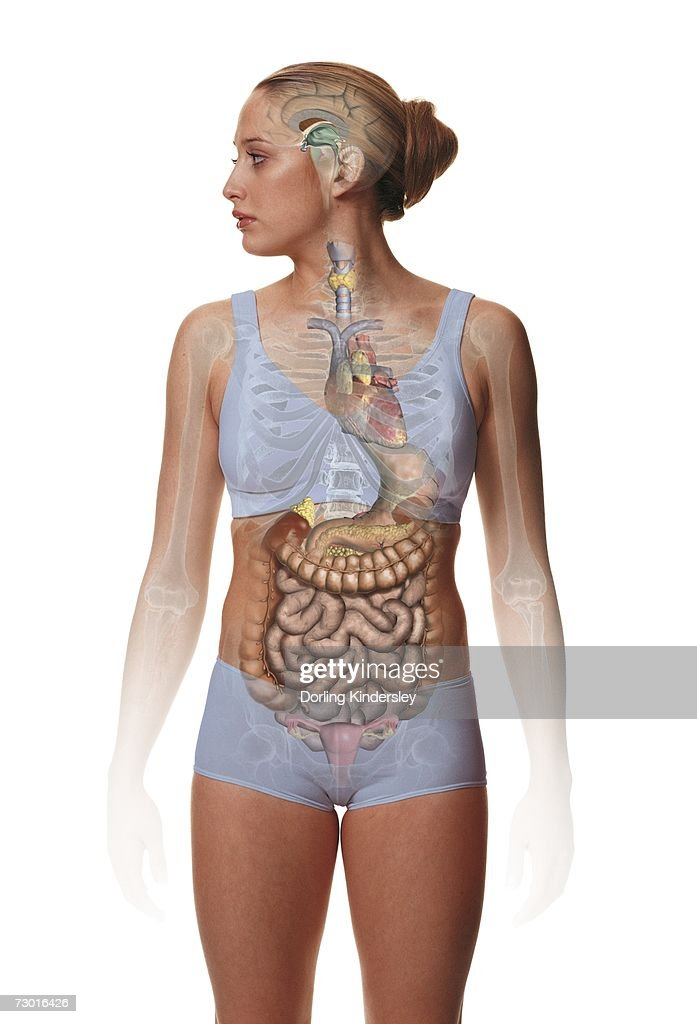 Female Anatomy Diagram Stock Photos And Pictures Getty Images