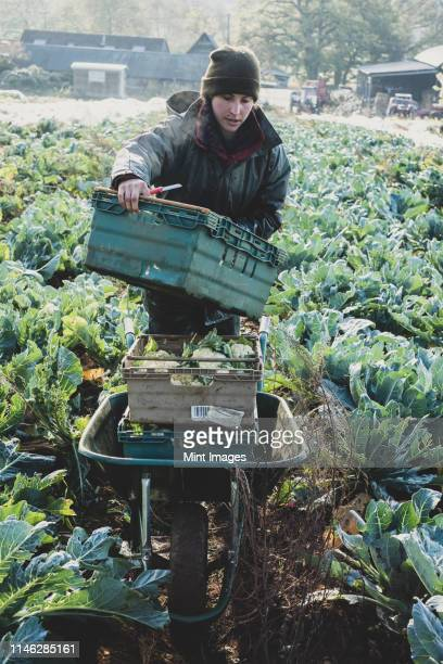 woman standing in field, carrying plastic crate, harvesting cauliflowers. - agriculture stock pictures, royalty-free photos & images