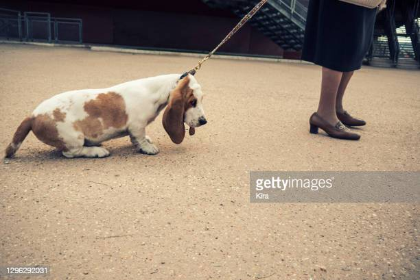 woman standing in street with a stubborn dog - pet lead stock pictures, royalty-free photos & images