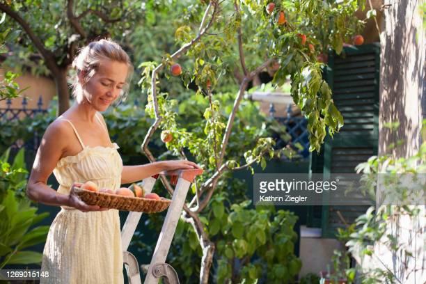 woman standing on a ladder, harvesting peaches from tree in her backyard - albero da frutto foto e immagini stock