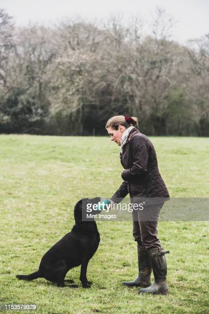 woman standing outdoors in a field giving a green toy to black labrador dog. - standing stock pictures, royalty-free photos & images