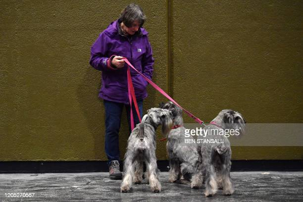 Woman stands with three Schnauzer dogs on the first day of the Crufts dog show at the National Exhibition Centre in Birmingham, central England, on...